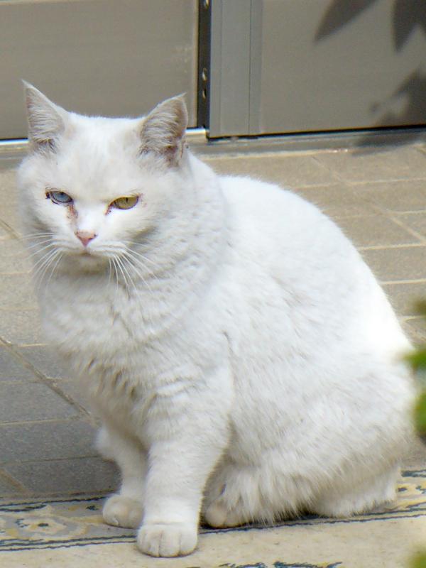 玄関先の白猫オッドアイ3