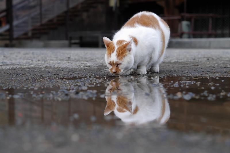 水を飲む白茶猫の映り込み1