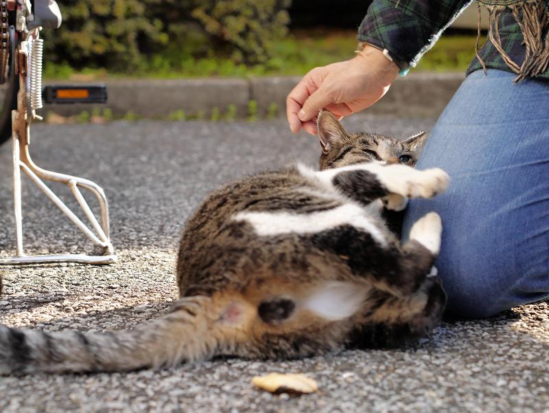 膝で遊ぶキジ白猫1