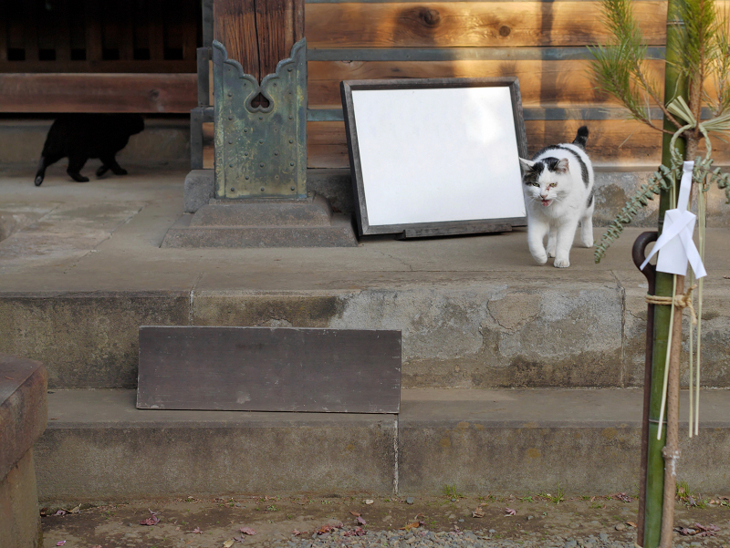 お堂から出て来た白キジ猫1