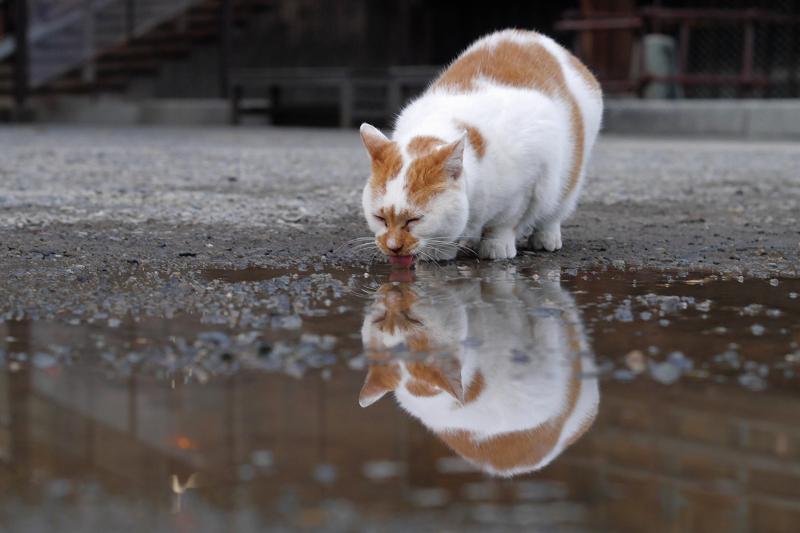 水を飲む白茶猫の映り込み2