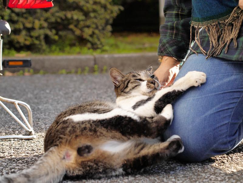 膝で遊ぶキジ白猫2