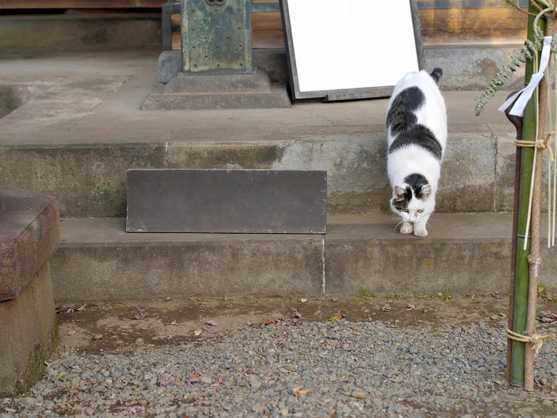 お堂から出て来た白キジ猫2