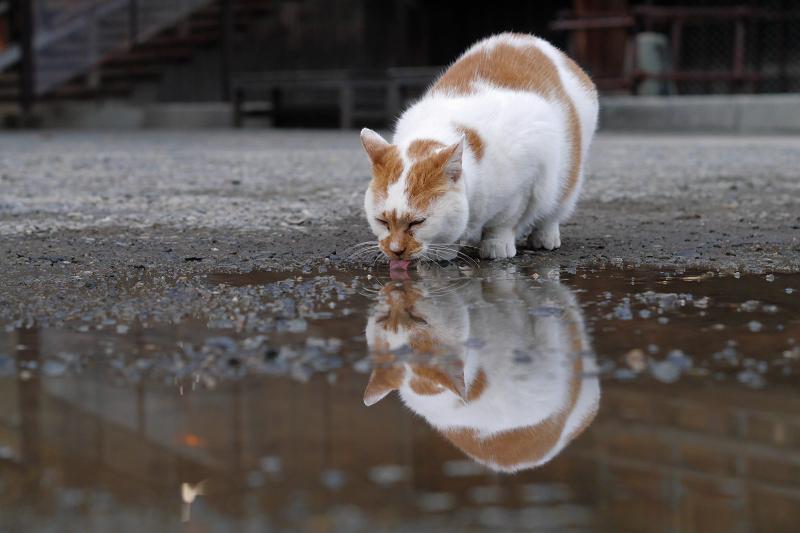 水を飲む白茶猫の映り込み3