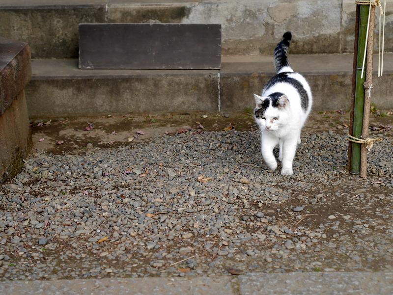 お堂から出て来た白キジ猫3
