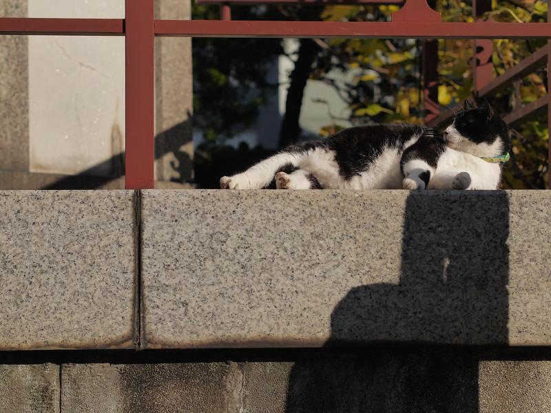 冬青空の下で寛ぐ黒白猫1