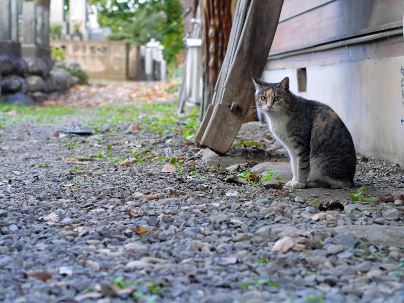 密かに鳴いてた三毛猫1
