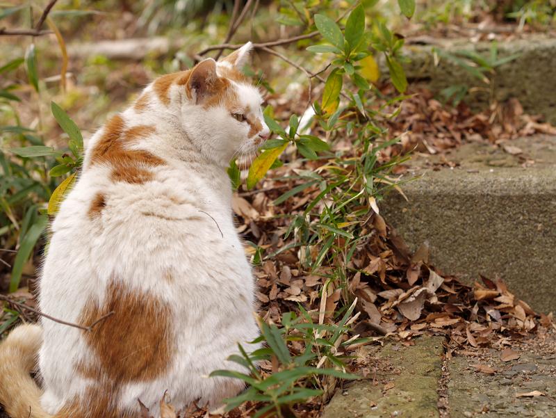 白茶猫の後ろ姿1