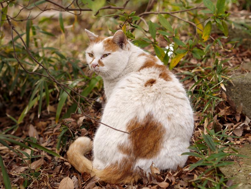 白茶猫の後ろ姿2