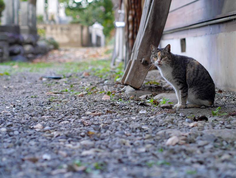 密かに鳴いてた三毛猫3