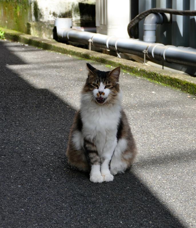 ビル横通路でアクビする毛長のキジ白猫1