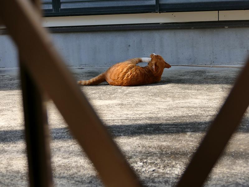 門扉の向こうから見ている茶白猫1