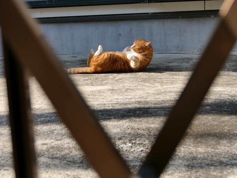 門扉の向こうから見ている茶白猫2