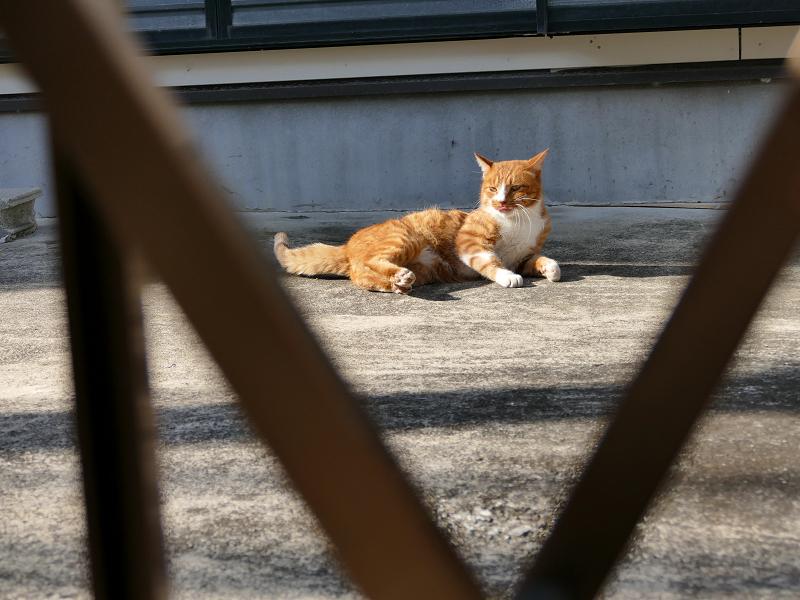 門扉の向こうから見ている茶白猫3