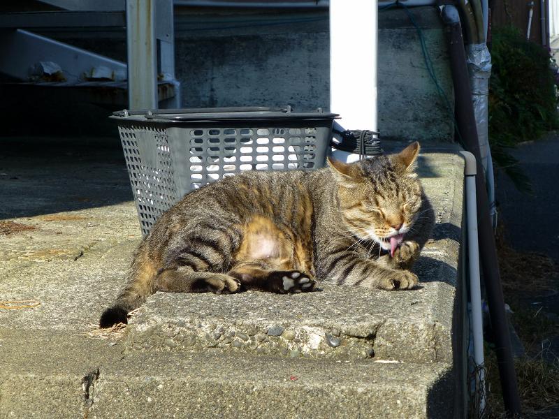 階段上で毛づくろいしてるキジトラ猫3