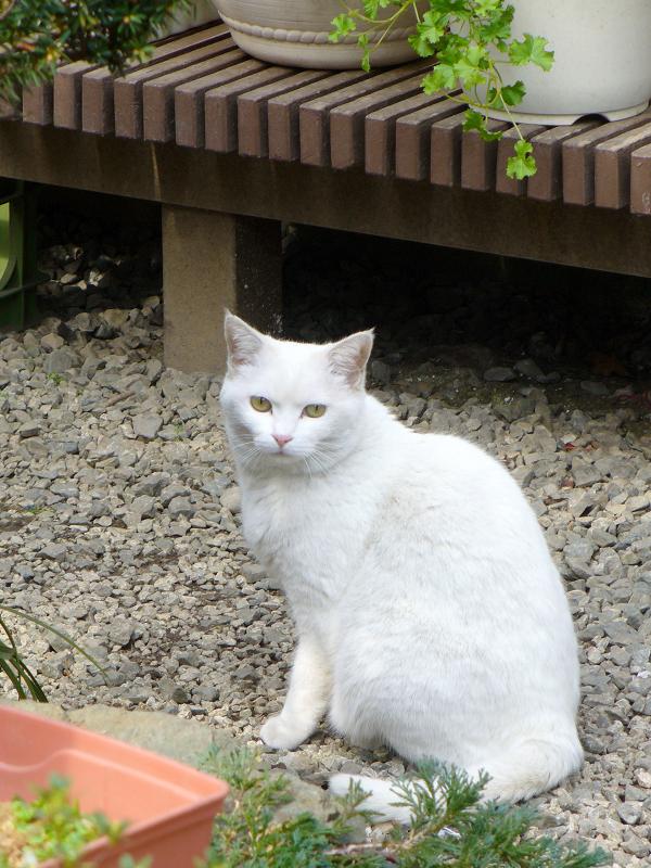 庭先の金眼の白猫1