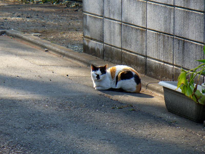 路地で佇む三毛猫1