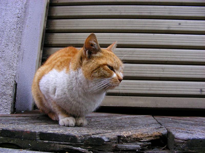 最初に出会った茶白猫と再会2