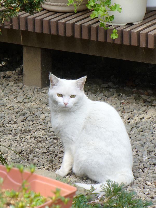庭先の金眼の白猫2