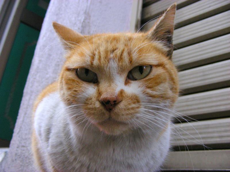 最初に出会った茶白猫と再会3
