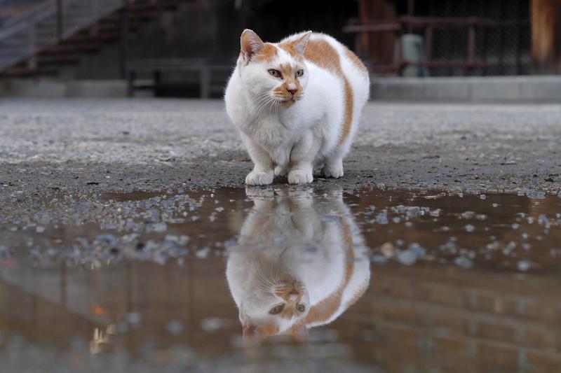 くるりと回転する白茶猫1