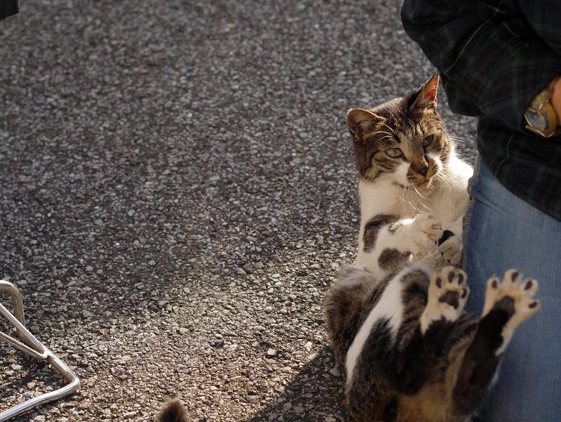 足で暴れるキジ白猫1