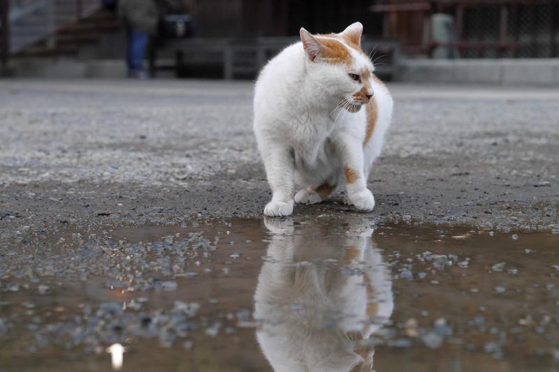 くるりと回転する白茶猫2