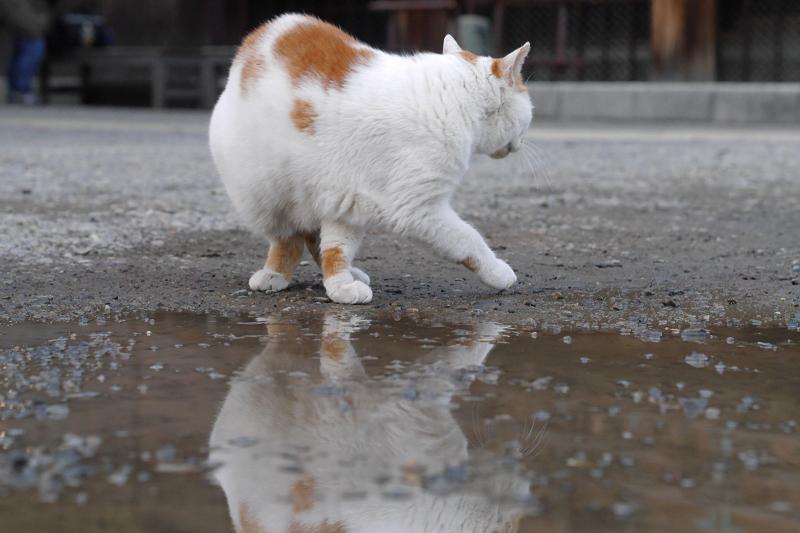 くるりと回転する白茶猫3