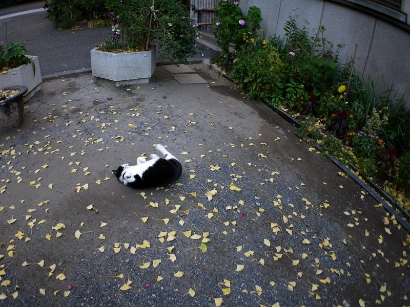 境内で転がってった黒白猫1