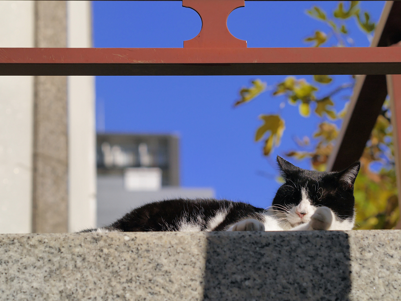初冬の青空と黒白猫1