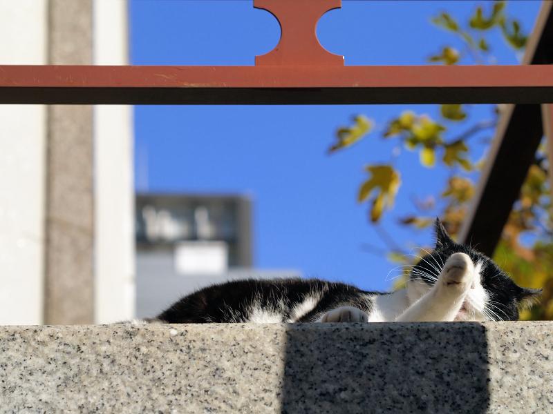 初冬の青空と黒白猫3