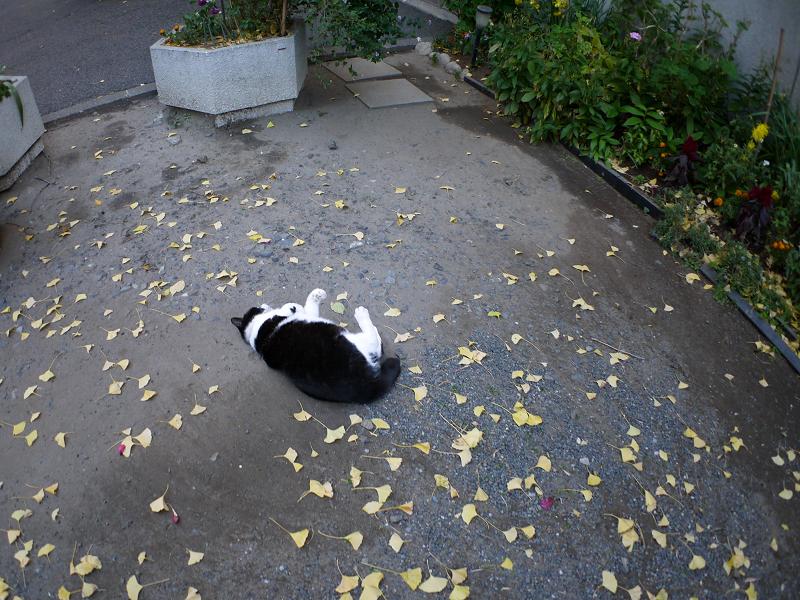 境内で転がってった黒白猫4