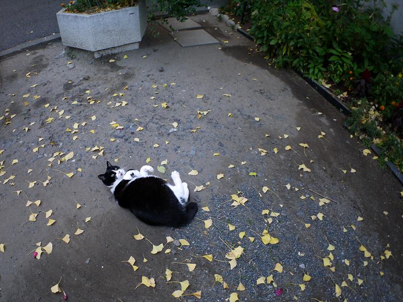 境内で転がってった黒白猫5