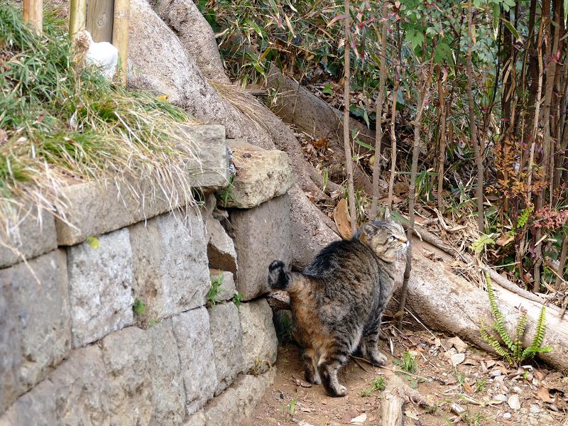 参道に出て来たキジトラ猫1