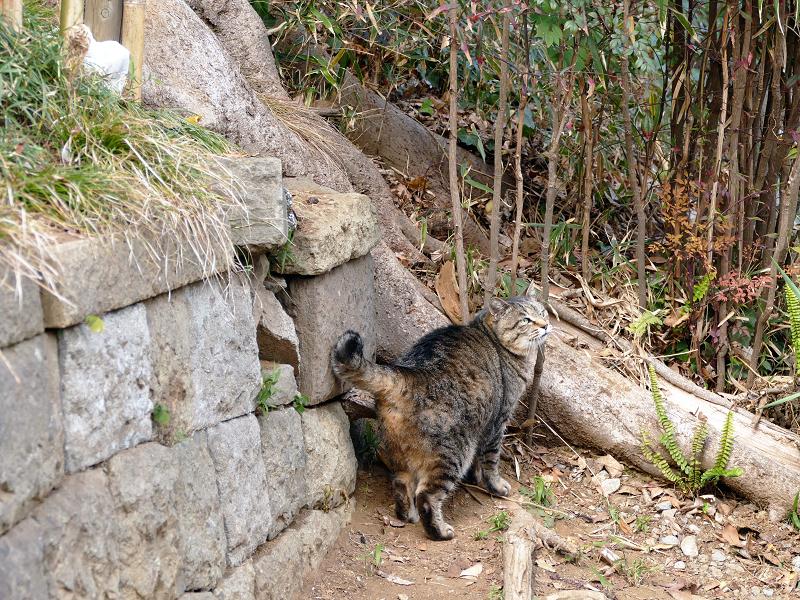 参道に出て来たキジトラ猫2