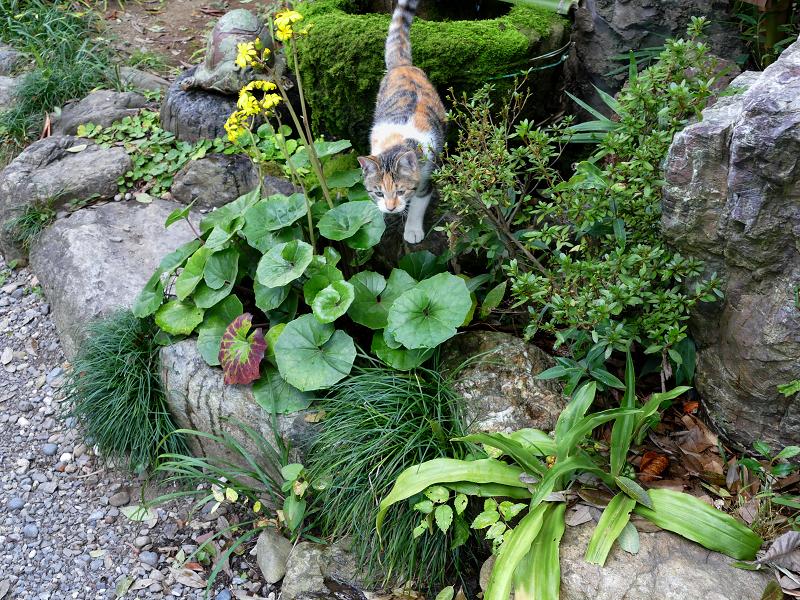 蹲から走り出た三毛猫3