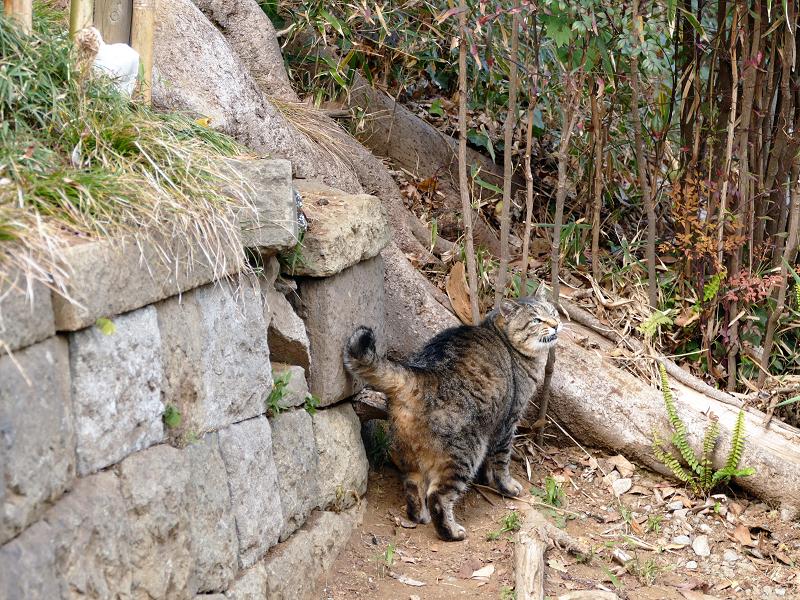 参道に出て来たキジトラ猫3