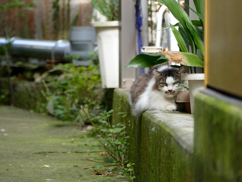 ビル横通路の毛長のキジ白猫1
