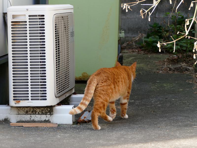 敷地の奥に歩いて行く茶白猫1