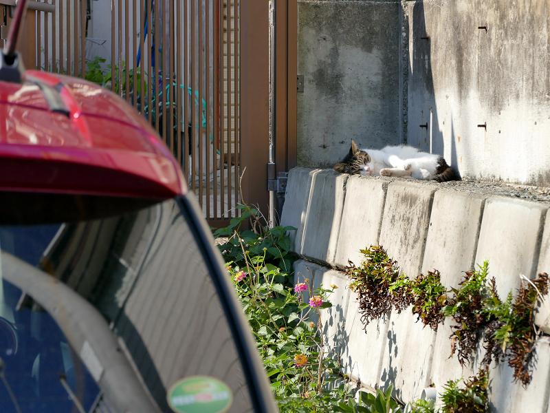 駐車場の奥で寝ている白キジ1