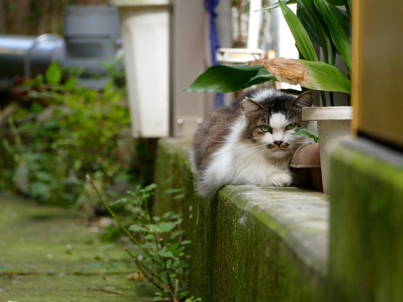 ビル横通路の毛長のキジ白猫2
