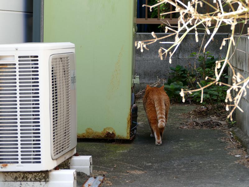 敷地の奥に歩いて行く茶白猫2