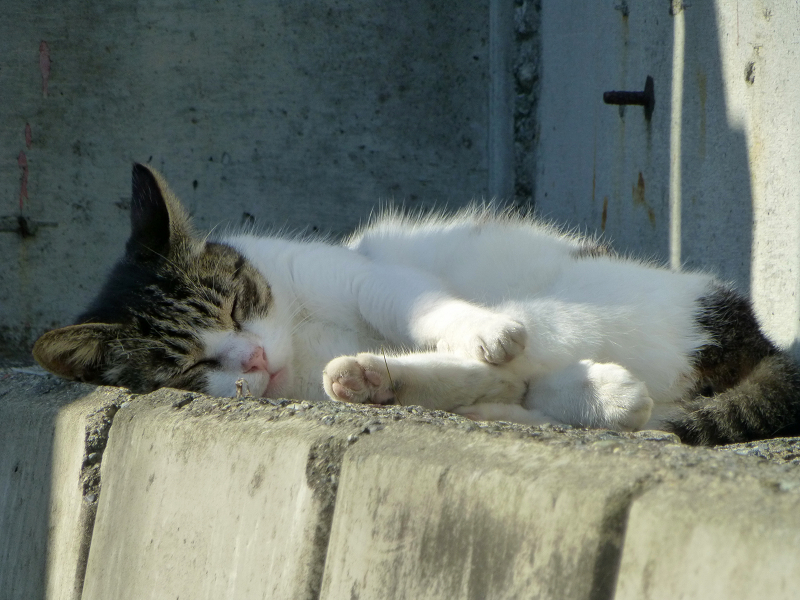 駐車場の奥で寝ている白キジ2