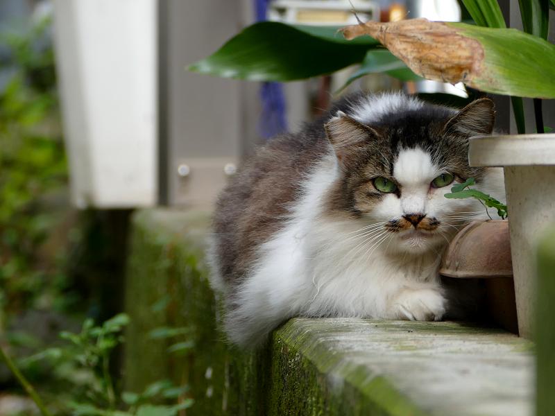 ビル横通路の毛長のキジ白猫3