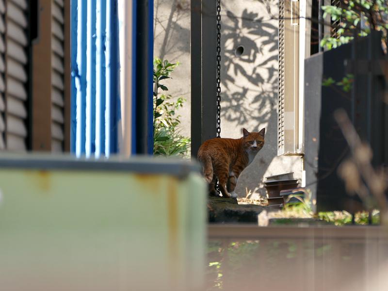 敷地の奥に歩いて行く茶白猫3