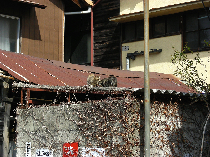 トタン屋根のネコたち1