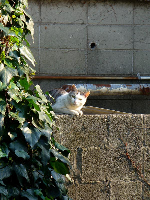 ブロックから小首傾げて見ている白キジ猫1