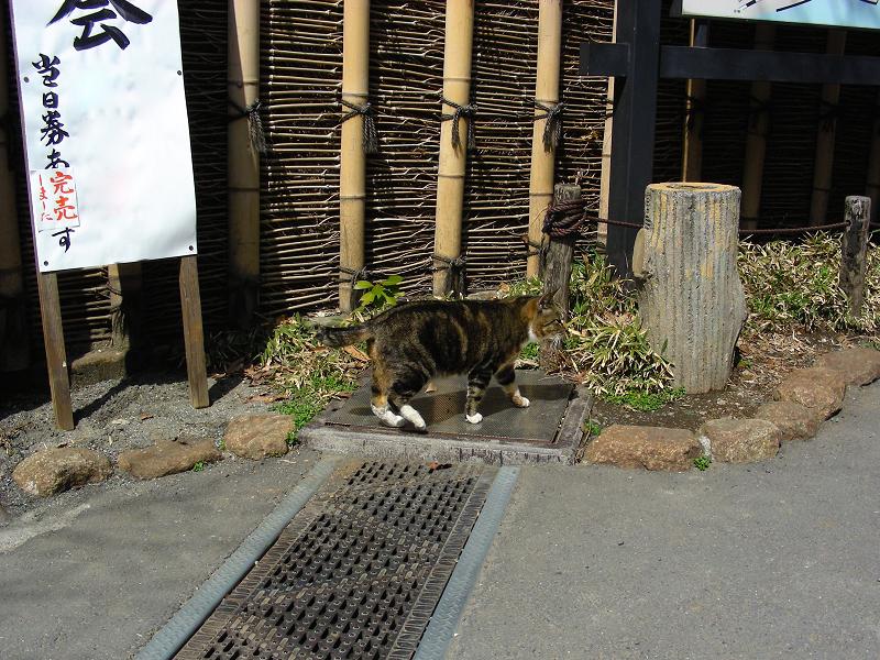 庭園門前のキジ白猫2