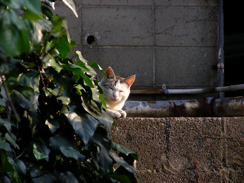 ブロックから小首傾げて見ている白キジ猫2