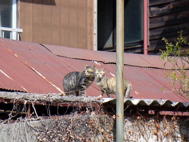 トタン屋根のネコたち2
